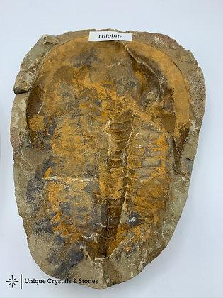 Trilobite Specimen