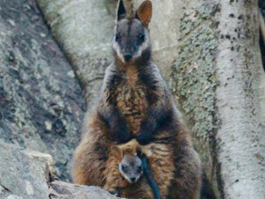 Rock-wallabies bounding back after summer bushfires