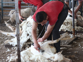 Shearing traineeship offered for year 11 and 12 students