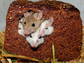 Mouse control workshops: research for projected future plagues