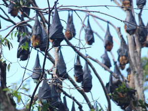 Residents Fear the Worst as Flying Foxes Begin Taking Up Residence in Bicentennial Park.