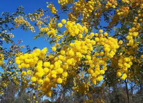 Wildflower bonanza brightens up Spring in the Pilliga