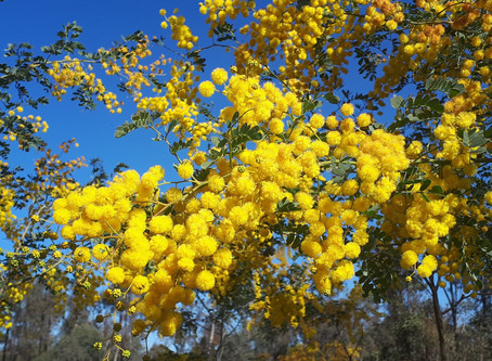 Wildflower bonanza brightens up Spring in the Pilliga