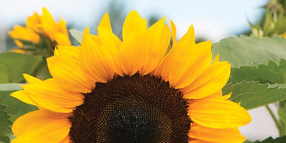 Sunflower Art Festival: Grains of the Plains