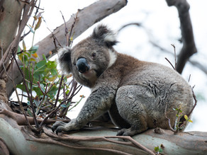Farmers exempt from Koala SEPP as NSW Coalition strikes a new agreement