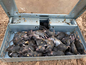 Research under the NSW Government's mouse control package takes a step in the right direction