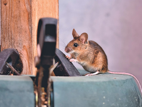 PETA receive backlash for comments on mice plague