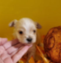 Available boy 4 weeks blonde parti.jpg