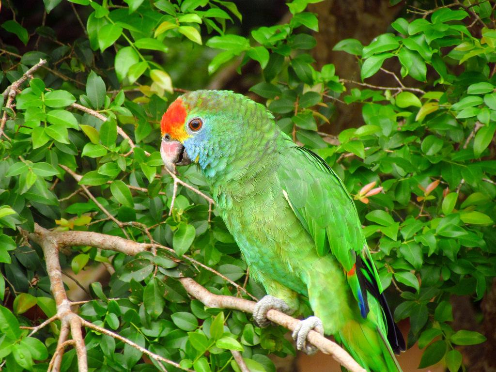 papagaio verde