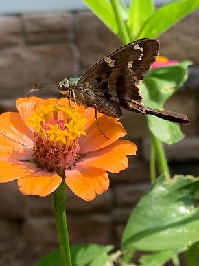 Marie's Butterfly