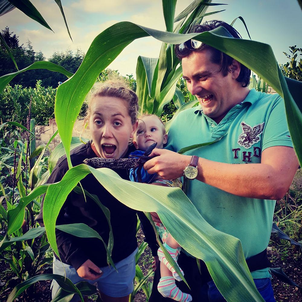 corn, seasonal, farming, kent, wonky parsnip