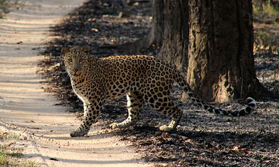 Leopard seen this spring. Leopards are even harder to spot than tigers!