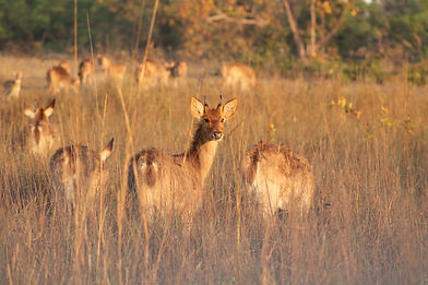 White spotted deer in Kanha