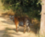 Tiger seen from the back of an elephant in Bandhavgarh National Park, March 2006