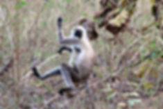 Hanuman langur monkey in Pench