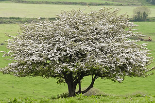 white thorn or hawthorn tree isolated_.j