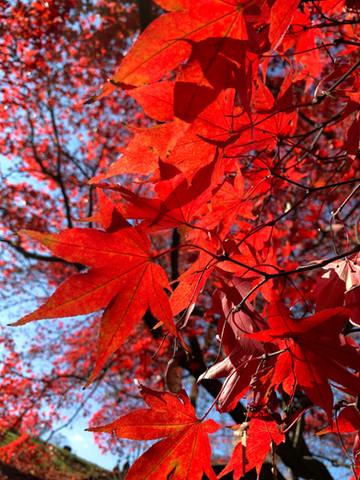 Greenwood Japanese Maple
