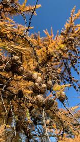 Greenwood pinecones