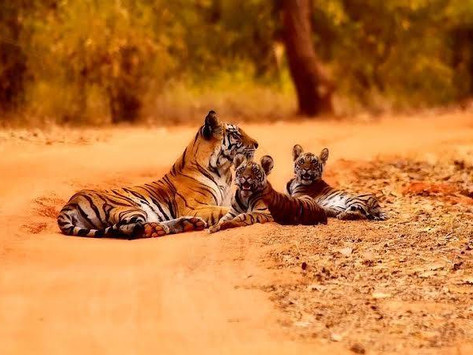 India boasts 70 percent of world's tigers: government survey