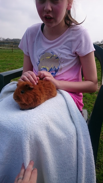 Lola the Guinea Pig having a stroke