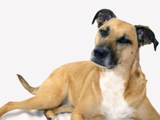 Infekční laryngotracheitida psů (ILTP)