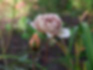 jactan-Rose