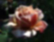 Koko-Loco-Rose