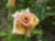 Creme_Caramel_Rose.JPG