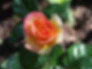 cetennial-star-rose
