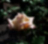 creme-caramel-rose