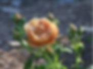 Cafe_Rose.PNG