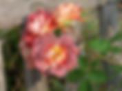 strange-brew-rose