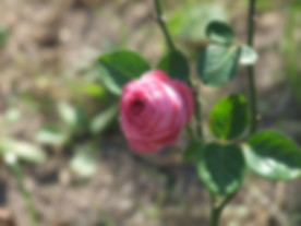 Helga-Matura-Rose.JPG