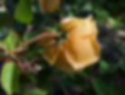 Lady-Hillingdon-Rose
