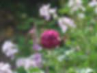 eufemia-rose