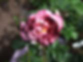 New-Imagine-Rose