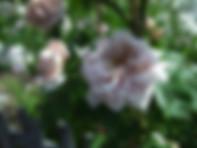 aschermittwoch-rose