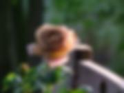 Honey-Dijon-Rose