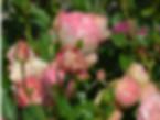 acropolis-rose
