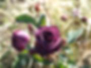Ebb-Tide-Rose