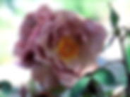 Lavender-Pinocchio-rose