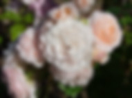 louise-de-marillac-rose