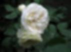 winter-lodge-rose
