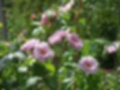 oyssey-rose