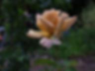 Creme-Caramel-rose_.jpg