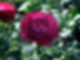 wild-blue-yonder-rose