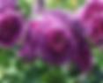 minerva-rose.PNG