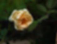 Lady-Hilligdon-Rose