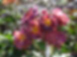 Blauwe-stad-rose