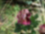 julio-iglesias-rose